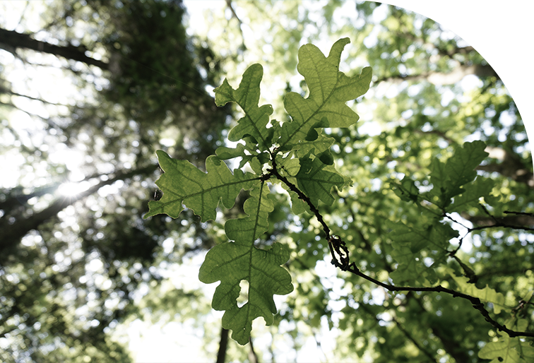 A shot of oak leaves looking up into the canopy