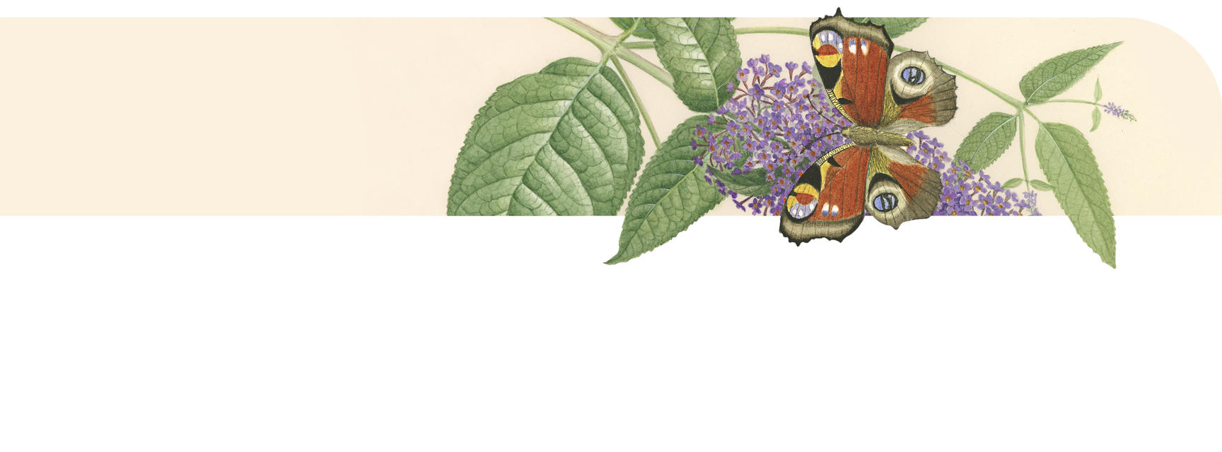 content width banner  butterfly